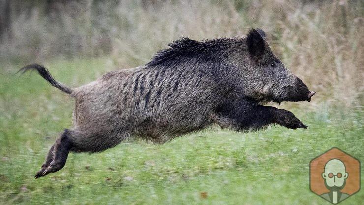Domuzun Faydaları ve Zararları Nelerdir? – Domuzun Faydalari ve Zararlari Nelerdir
