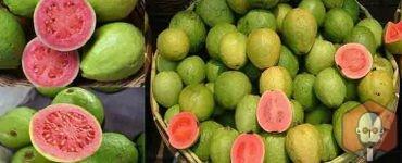 Guava Meyvesinin Faydaları Nelerdir Nelere İyi Gelir? – Guava Meyvesinin Faydalari Nelerdir Nelere Iyi Gelir