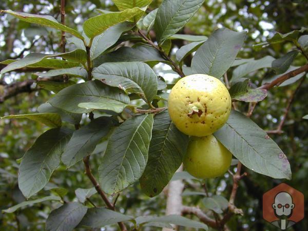 Guava Meyvesinin Faydaları Nelerdir Nelere İyi Gelir? – Guava Meyvesinin Faydalari